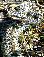 HRS 2241 Bouth, Haybridge Nature reserve, Adder