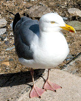 HRS 4628 Herring Gull on Llandudno prom July 2007