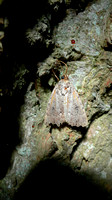 HRS 4645a Moth, Pensychnant, Wales