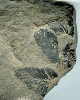 HRS 755 Carboniferous coal measure fossils, Rhacopteris