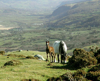 HRS 965 Wild horses above Conwy Valley 2005