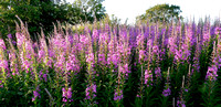 HRS 1770 Willow herb Holker shore