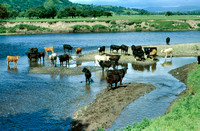 Cattle in the Lune Crook 1987