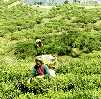 HRS 936 India, Assam, women working in tea gardens 1995